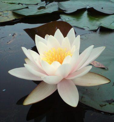 Photo Prints Flora Lotus Gorgeous